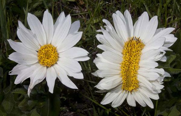 帯化したキク科の花