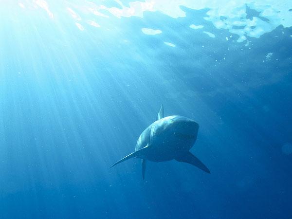 ホホジロザメ